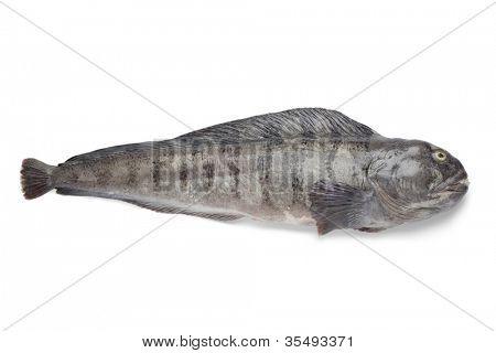 Fresh raw Atlantic wolffish on white background poster