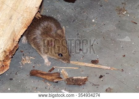 Mouse. Rodents Mice Pests In The House. Mouse Close -up. Mouse In A Residential Building Looking For