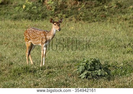 Single Wild Spotted Deer Standing In Meadow