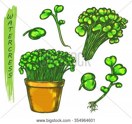 Color Sketch Of Watercress Salad Plant Or Herb