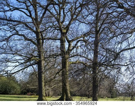 Three Trees With Bare Winter Branches In The Parkland At Beningbrough, North Yorkshire, England