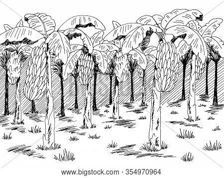 Banana Palm Grove Plantation Graphic Black White Landscape Sketch Illustration Vector