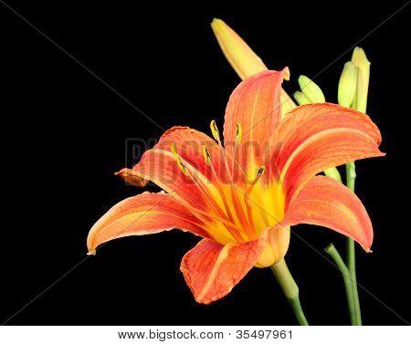 Orange Daylily, Hererocallis Fulva