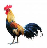 Thai red rooster chicken on white background poster