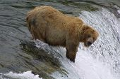 brown bear fishing on brooks falls - katmai national park poster