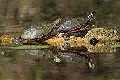 Pair of Painted Turtles (Chrysemys picta marginata) Basking on a Log with their Reflection in the Water - Pinery Provincial Park, Ontario, Canada poster