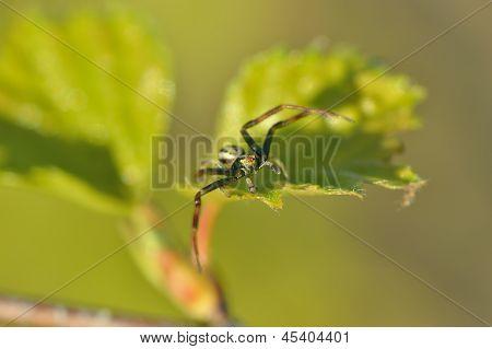 Crab Spider(thomisoidea)