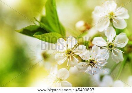 Defocus Beautiful White Spring Flowers
