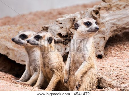 Meerkats Looking For Something