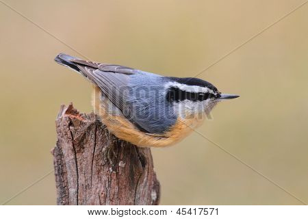 Red-breasted Nuthatch On A Perch