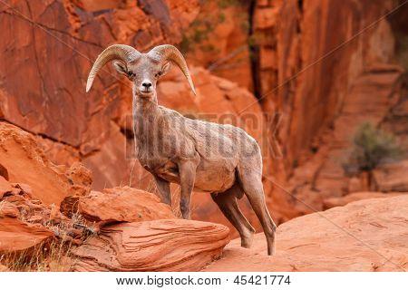 Desert Big Horn Sheep Ram