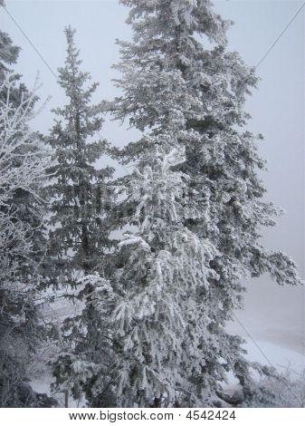 Sandia Peak - Snowy Trees