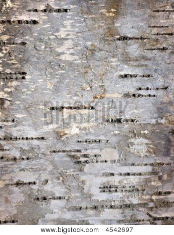 Bark Details Of Birch Tree