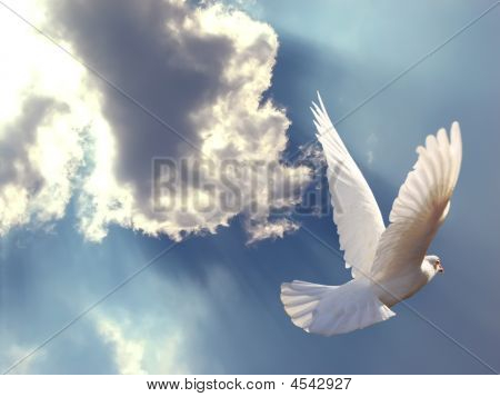 White Dove Soaring