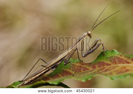 Close Up Praying Mantis
