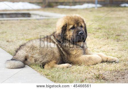 Cute Puppy Tibetan Mastiff outdoors. Horizontal picture poster