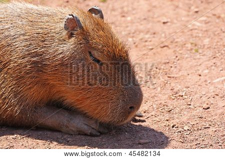 Close-up of the head of an adult Capybara (Hydrochoerus hydrochaeris) as it sleeps in the sunshine. poster
