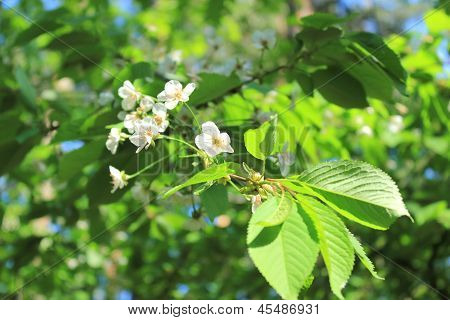 blooming cherry twig