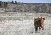 Grass fed, healthy, organic, red angus calf, looking at the camera.  Spring in Wisconsin poster