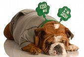 St. Patricks Day dog - english bulldog wearing grey sweatsuit and kiss me I'm Irish headband poster