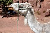 Close view of white Camel in the desert Morocco poster