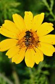 Bee collecting nectar wings covered with pollen grains. Flower pollination process. poster