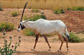 Arabian oryx and blooming flowers. Previously extinct antelope species reintroduced in the wild in the 1980's through captive breeding. poster