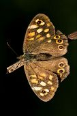 rear of wild brown grey orange butterfly on a brown branch in the bush poster