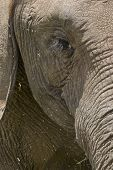 detailed view of an elephants eye and trunk poster