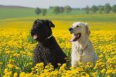 Golden Retriever and Big Black Schnauzer sitting in flower meadow of yellow dandelions poster