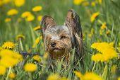 Happy yorkshire terrier in the dandelion meadow poster