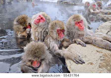 Macaques bath in hot springs in Nagano, Japan. poster