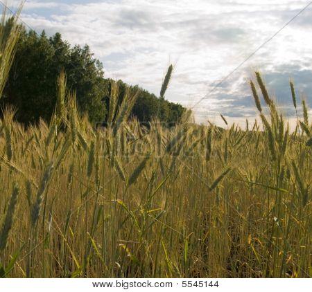 Wheat On A Field