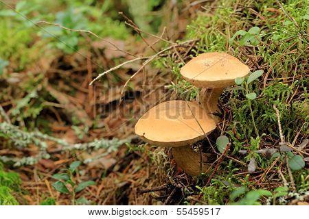 Mushroom Suillus Bovinus Growing In The Forest (suillus Bovinus)