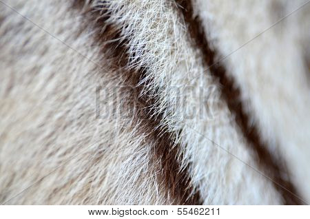 textured of real white bengal tiger fur poster
