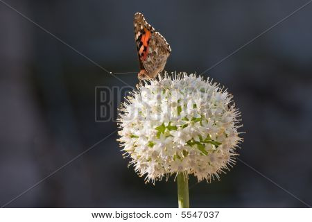 Butterfly  On A White Allium