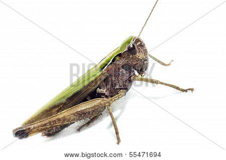 Portrait of a grasshopper