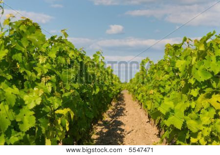 Vineyards In Bordeaux, Very Shallow Focus