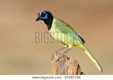 Green Jay Perched On A Stump - Texas
