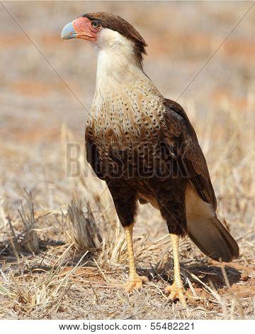 Crested Caracara Perched On The Ground - Texas