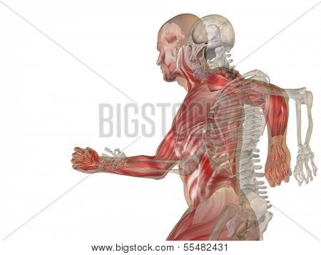 Human or male 3D anatomy with bones or skeleton and face or skull details isolated on white background