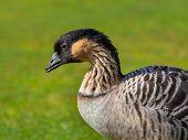 Hawaiian Goose (Branta sandvicensis) on a Green Grass Field poster