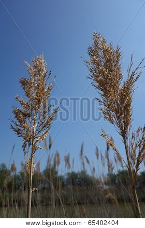 Reed Seed Heads