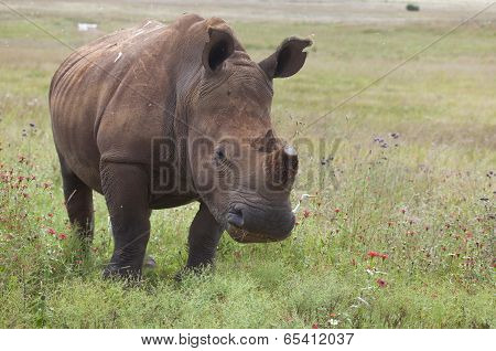 White Rinoceros