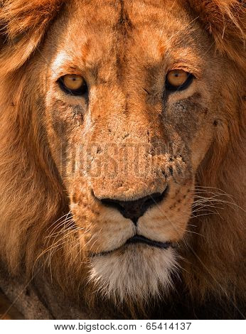 Lions contempt