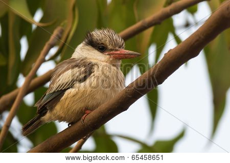 A tubby and fluffy Striped Kingfisher (Halcyon chelicuti) perched on a branch poster