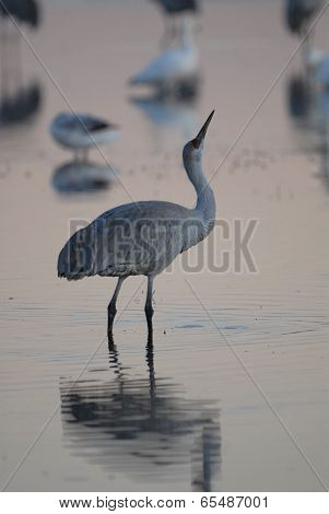 A sandhill crane in the pale first light of the day in the southern New Mexico wildlife refuge Bosque Del Apache. poster