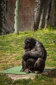 Alone sitting chimpanzee in Lisbon Zoo (Portugal) poster