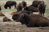 Buffalo herd with young calf poster