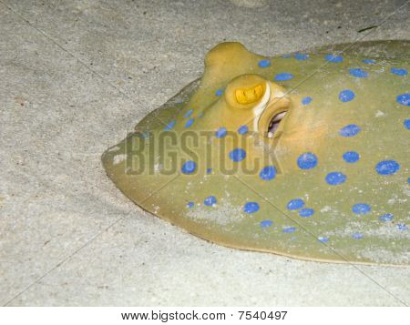 Blue spotted stingray ( Taeniura lymma) close-up underwater picture Egypt poster